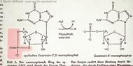 Guanosine-5-monophosphat