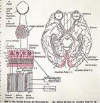 Voir façon dans le cerveau - offcut